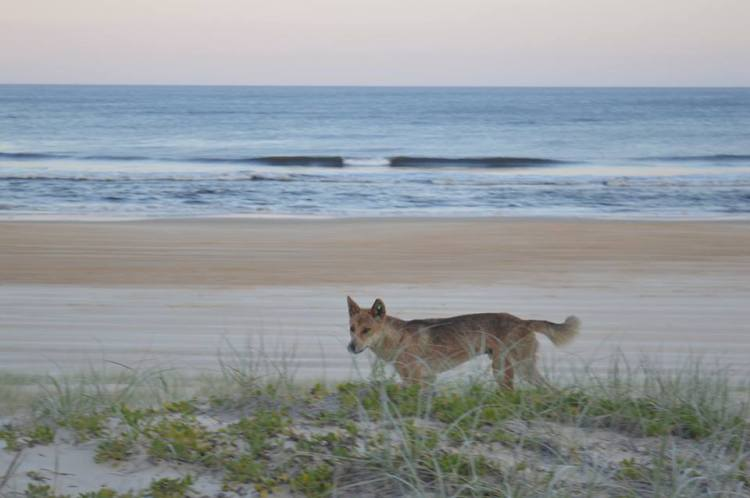 Dingo sur Fraser Island